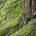 Beautiful mossy carpet in the Mount Baker-Snoqualmie National Forest.- Snoquera Falls Loop