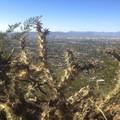 Cholla cactus.- Cholla Trail