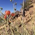 Desert globemallow (Sphaeralcea Ambigua).- Cholla Trail
