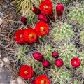 Claret cup cactus in bloom.- Road Canyon