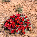 Claret cup cactus in bloom.- Mule Canyon + House on Fire Ruin