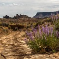Lupine in a wash along the road.- Cathedral Valley