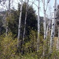 Aspen trees inside the campground.- Lower Lehman Creek Campground