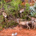 Mule deer feeding by the river back at the trailhead.- Rim Overlook + Navajo Knobs Trail