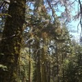 Fir trees adorned by wolf lichen.- Magee Peak