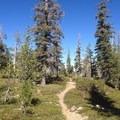 The path through a carpet of mazanita.- Magee Peak