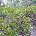 Manzanita grows along the lower elevation portions of the trail.- Wheeler Peak, Winter Route