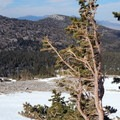 These high altitude pine trees survive harsh conditions and may live for hundreds or thousands of years.- Wheeler Peak, Winter Route