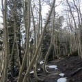 The trail is easy to find in the trees.- Wheeler Peak, Winter Route