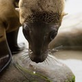 Baby sea lion at Ocean Beach.- San Diego's Ocean Beach