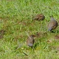 Quails in the meadow.- Sky Camp