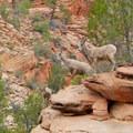 Big horn sheep family.- Clear Creek Hike