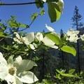 Flowering dogwoods.- Chambers Creek Falls