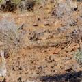 A desert hare.- Lava Tube Loop