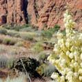 Yucca flower.- Lava Tube Loop