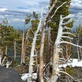 Whitebark pines sculpted by the wind.- Mount Bachelor: Spring Lap