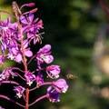 Fireweed (Onagraceae).- Diamond Peak, Marie + Rockpile Lakes