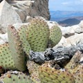 Cactus grows up high on North Guardian Angel's rocky top.- North Guardian Angel Climb