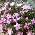Phlox and other wildflowers dot the trail in spring.- North Guardian Angel Climb