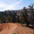 A surprising number of trees cling to life along the trail.- Under-the-Rim Trail to Hat Point