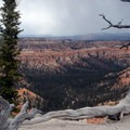 As the cliff edge erodes, trees struggle to hold the ground with their twisted roots.- Under-the-Rim Trail to Hat Point