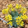 Yellow flowers add a touch of color to the canyon.- Under-the-Rim Trail to Hat Point