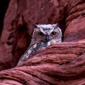 One of the great horned owls residing in the canyon.- Rattlesnake + Owl Canyons