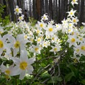 Avalanche lilies, or glacier lilies, bloom one to two weeks after the snow melts.- Vista Ridge Trail Hike