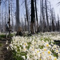 The white blooms are a brilliant contrast against the burned trees.- Vista Ridge Trail Hike