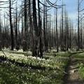 Hiking back through the lillies on the return.- Vista Ridge Trail Hike