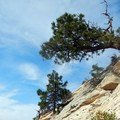 A tree grows sideways from the steep flank of North Guardian Angel.- North Guardian Angel Climb