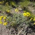 Yellow buckwheat en route to Hidden Forest Cave.- Hidden Forest Cave