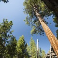 Ponderosa pine (Pinus ponderosa) within the Hiden Forest Cave lava depression.- Hidden Forest Cave