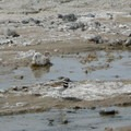 Killdeer (Charadrius vociferus).- Salt Creek Interpretive Trail