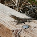 Small lizard on the boardwalk.- Salt Creek Interpretive Trail