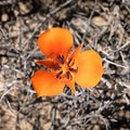 A bright mariposa lily seems to emerge out of dead stalks.- Hidden Valley Nature Trail