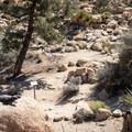 A common chuckwalla lizard (Sauromalus ater) surveys the trail.- Hidden Valley Nature Trail