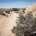 Jojoba produces berries that can be roasted and brewed.- Skull Rock Nature Trail