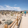 The Cholla Cactus Garden is a small wayside that is easy to pass, but it is well worth a stop and a short walk.- Cholla Cactus Garden