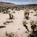 Acres of cholla cactus.- Cholla Cactus Garden