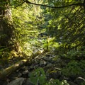 Thick conifer forest alongside the Skykomish River at Eagle Falls.- Eagle Falls Swimming Hole