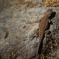 Potem's resident fence lizard.- Potem Falls