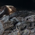 Steller sea lions (Eumetopias jubatus) in Sea Lion Caves.- Sea Lion Caves