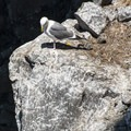 Western gull (Larus occidentalis) with its two chicks.- Sea Lion Caves
