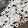 Brandt's Cormorants (Phalacrocorax penicillatus).- Sea Lion Caves