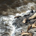 The majority of the Steller sea lions at their rookery outside of the caves.- Sea Lion Caves
