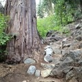 Trailwork around an old-growth incense cedar. - Granite Lake + Seven Up Pass