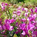 Purple pea flowers create a surprising parade of color.- Lower Muley Twist Loop