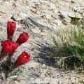 Claret cup cactus flowers stand out amid the drab desert colors.- Lower Muley Twist Loop