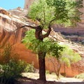 Occasional cottonwood trees offer much-welcomed shade to humans and animals alike.- Lower Muley Twist Loop